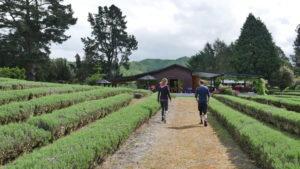 Two people walking through a lavendar farm